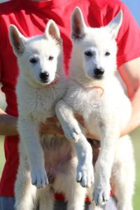 White-Swiss-Shepherd-Puppies-BTWW-F-August-2018-0047