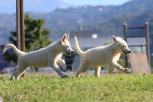 White-Swiss-Shepherd-Puppies-BTWW-F-August-2018-0048