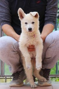 White-Swiss-Shepherd-Puppies-BTWW-F-August-2018-4180