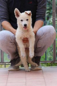 White-Swiss-Shepherd-Puppies-BTWW-F-August-2018-4181