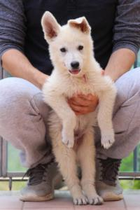 White-Swiss-Shepherd-Puppies-BTWW-F-August-2018-4182