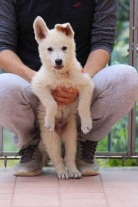 White-Swiss-Shepherd-Puppies-BTWW-F-August-2018-4183