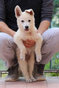 White-Swiss-Shepherd-Puppies-BTWW-F-August-2018-4184
