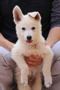 White-Swiss-Shepherd-Puppies-BTWW-F-August-2018-4185
