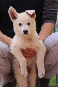 White-Swiss-Shepherd-Puppies-BTWW-F-August-2018-4186