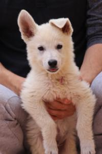 White-Swiss-Shepherd-Puppies-BTWW-F-August-2018-4187