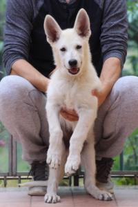 White-Swiss-Shepherd-Puppies-BTWW-F-August-2018-4188