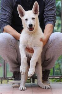 White-Swiss-Shepherd-Puppies-BTWW-F-August-2018-4189