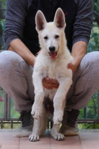 White-Swiss-Shepherd-Puppies-BTWW-F-August-2018-4190