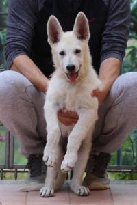 White-Swiss-Shepherd-Puppies-BTWW-F-August-2018-4191