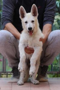 White-Swiss-Shepherd-Puppies-BTWW-F-August-2018-4192