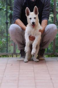 White-Swiss-Shepherd-Puppies-BTWW-F-August-2018-4193
