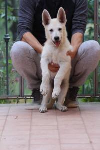 White-Swiss-Shepherd-Puppies-BTWW-F-August-2018-4194