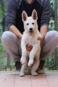 White-Swiss-Shepherd-Puppies-BTWW-F-August-2018-4195