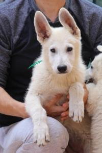 White-Swiss-Shepherd-Puppies-BTWW-F-August-2018-4198