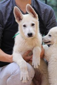 White-Swiss-Shepherd-Puppies-BTWW-F-August-2018-4199
