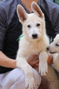 White-Swiss-Shepherd-Puppies-BTWW-F-August-2018-4200