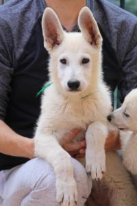 White-Swiss-Shepherd-Puppies-BTWW-F-August-2018-4201