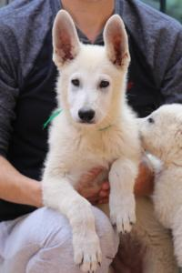 White-Swiss-Shepherd-Puppies-BTWW-F-August-2018-4202
