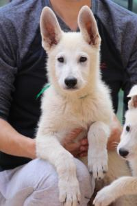 White-Swiss-Shepherd-Puppies-BTWW-F-August-2018-4203