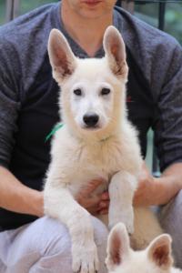 White-Swiss-Shepherd-Puppies-BTWW-F-August-2018-4204