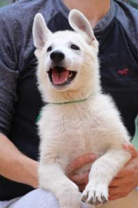 White-Swiss-Shepherd-Puppies-BTWW-F-August-2018-4205