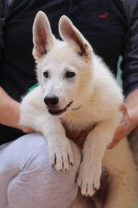 White-Swiss-Shepherd-Puppies-BTWW-F-August-2018-4206