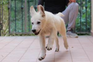 White-Swiss-Shepherd-Puppies-BTWW-F-August-2018-4207