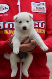 White-Swiss-Shepherd-Puppies-BTWW-GosaNostra-September-2018-0003