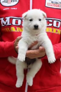 White-Swiss-Shepherd-Puppies-BTWW-GosaNostra-September-2018-0004