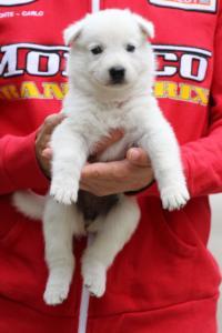White-Swiss-Shepherd-Puppies-BTWW-GosaNostra-September-2018-0005
