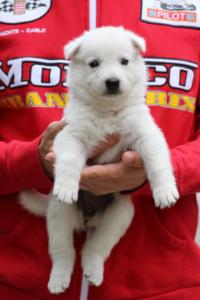 White-Swiss-Shepherd-Puppies-BTWW-GosaNostra-September-2018-0006