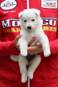 White-Swiss-Shepherd-Puppies-BTWW-GosaNostra-September-2018-0007