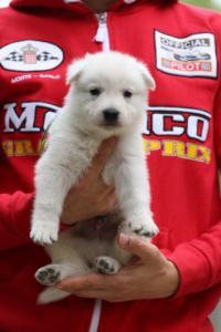 White-Swiss-Shepherd-Puppies-BTWW-GosaNostra-September-2018-0008