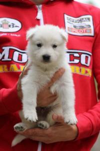 White-Swiss-Shepherd-Puppies-BTWW-GosaNostra-September-2018-0010