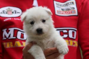White-Swiss-Shepherd-Puppies-BTWW-GosaNostra-September-2018-0011