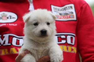 White-Swiss-Shepherd-Puppies-BTWW-GosaNostra-September-2018-0012