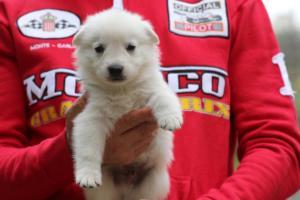 White-Swiss-Shepherd-Puppies-BTWW-GosaNostra-September-2018-0015