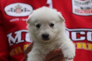 White-Swiss-Shepherd-Puppies-BTWW-GosaNostra-September-2018-0016