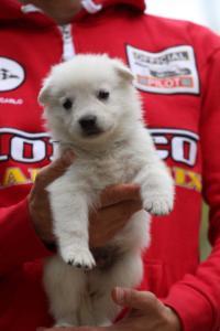 White-Swiss-Shepherd-Puppies-BTWW-GosaNostra-September-2018-0017