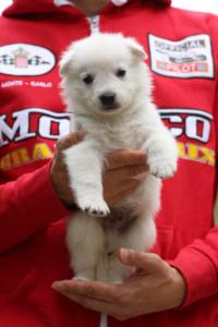 White-Swiss-Shepherd-Puppies-BTWW-GosaNostra-September-2018-0018