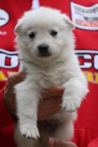 White-Swiss-Shepherd-Puppies-BTWW-GosaNostra-September-2018-0019