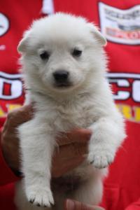 White-Swiss-Shepherd-Puppies-BTWW-GosaNostra-September-2018-0020