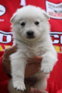 White-Swiss-Shepherd-Puppies-BTWW-GosaNostra-September-2018-0021