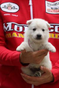 White-Swiss-Shepherd-Puppies-BTWW-GosaNostra-September-2018-0022