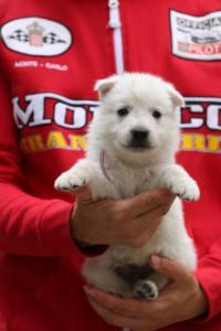 White-Swiss-Shepherd-Puppies-BTWW-GosaNostra-September-2018-0023