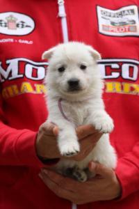 White-Swiss-Shepherd-Puppies-BTWW-GosaNostra-September-2018-0024