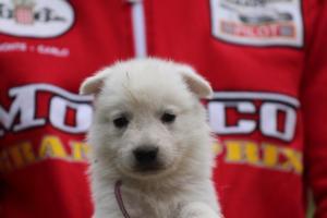 White-Swiss-Shepherd-Puppies-BTWW-GosaNostra-September-2018-0025