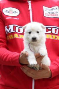 White-Swiss-Shepherd-Puppies-BTWW-GosaNostra-September-2018-0026