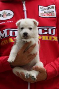 White-Swiss-Shepherd-Puppies-BTWW-GosaNostra-September-2018-0028